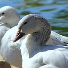 Snow Geese ~ Migrants by Kimberly Chadwick