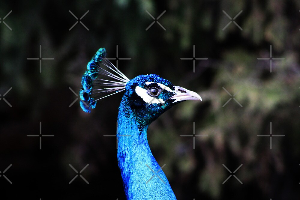 Peacock by Alyce Taylor