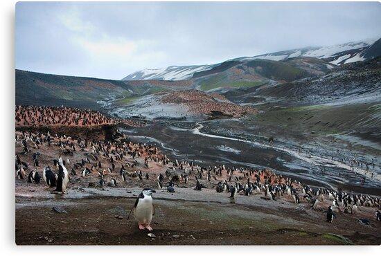 Chinstrap Penguin Colony Deception Island by Robert van Koesveld
