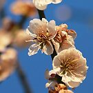 Blooming Blossoms by bared