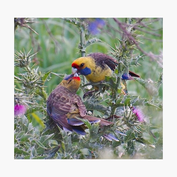 WO ~ PARROT ~ Green Rosella by David Irwin 061119 Photographic Print