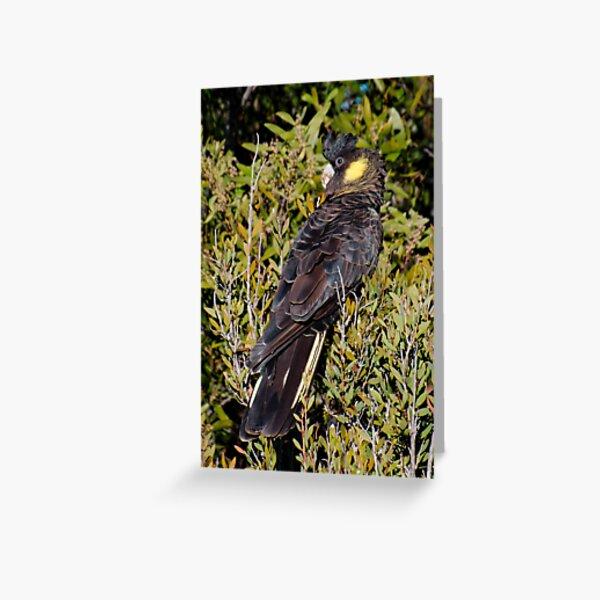 WO ~ PARROT ~ Yellow-tailed Black Cockatoo by David Irwin Greeting Card