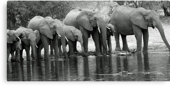 Eliphant breeding herd thirst quenching by Anthony Goldman