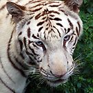 White Indian Tiger by Alastair
