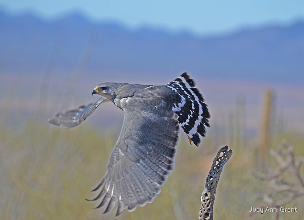 Grey hawk by judy grant redbubble for Gray hawk