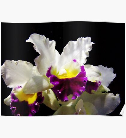 Orchid Collection - 2 Poster