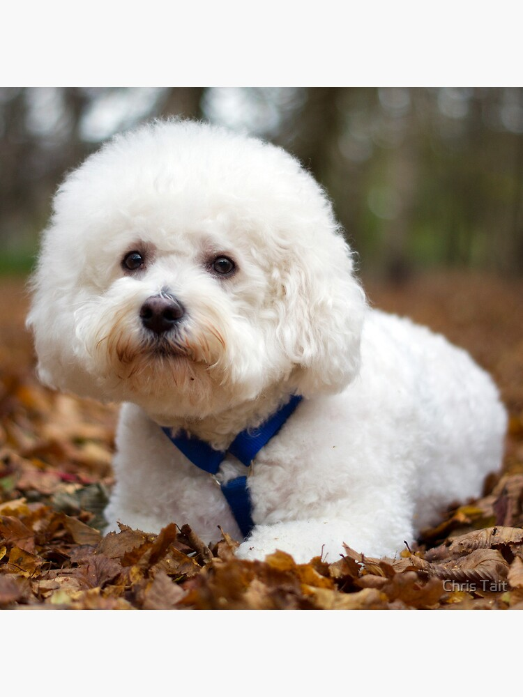 Bichon Frise by christait