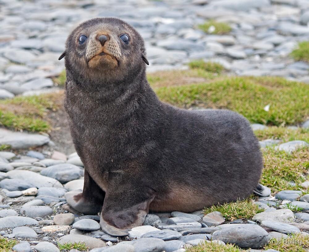 Got Fish??? (Antarctic Fur Seal Pup, South Georgia) by Krys Bailey