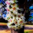 Bradford Pear Blossoms - HDR by Julie Conway