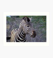 Burchells Zebra - Portrait Art Print