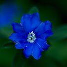 Evolvulus glomeratus Hawaiian Blue Eyes by Keith G. Hawley