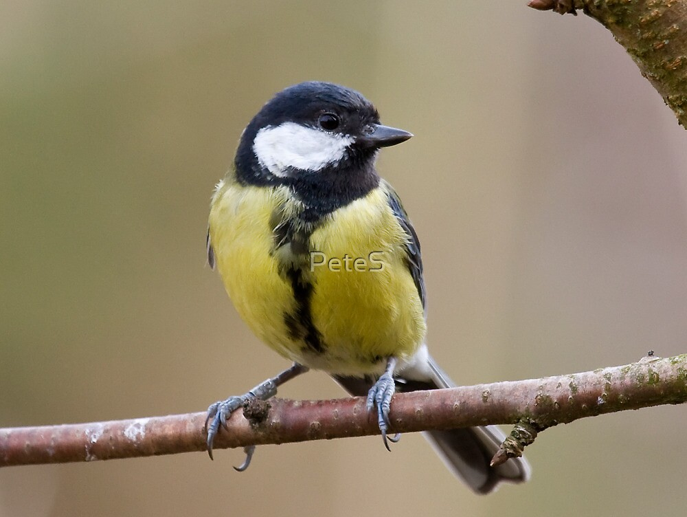 Great Tit by Peter Stone