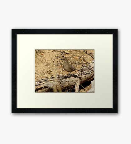 Curved-billed Thrasher II Framed Print