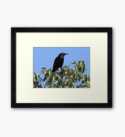 Great-tailed Grackle ~ Male Framed Print