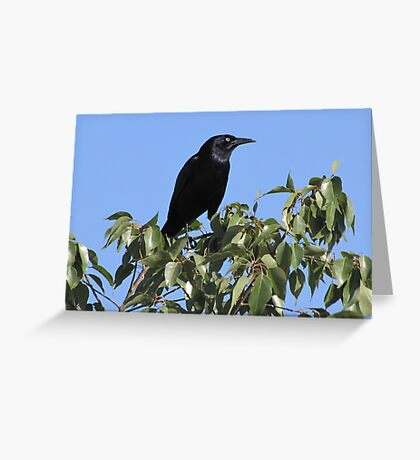 Great-tailed Grackle ~ Male Greeting Card