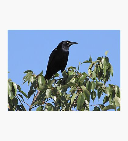 Great-tailed Grackle ~ Male Photographic Print