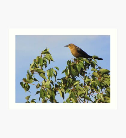 Great-tailed Grackle ~ Female Art Print