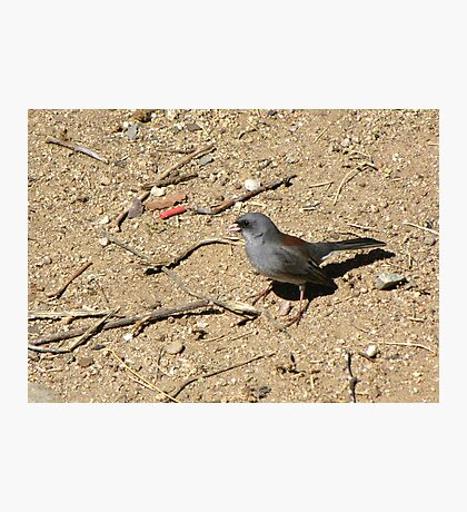 Dark-eyed Junco ~ Red-backed Subspecies Photographic Print