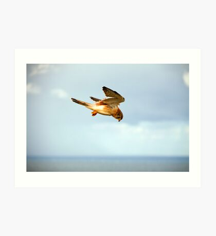Byron Bay Kestrel Art Print