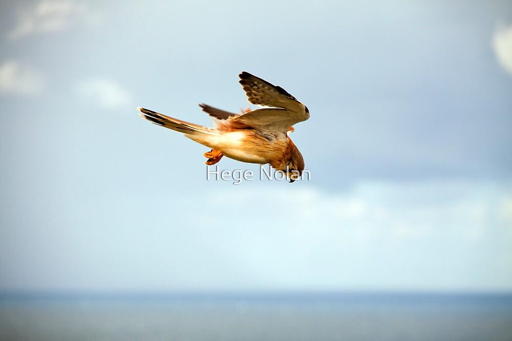 Byron Bay Kestrel by Hege Nolan