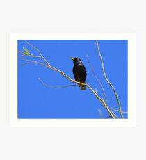 European Starling ~ Breeding Adult Art Print