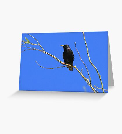 European Starling ~ Breeding Adult Greeting Card