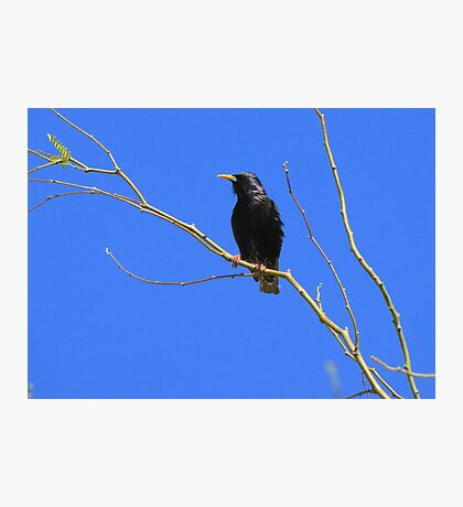 European Starling ~ Breeding Adult Photographic Print