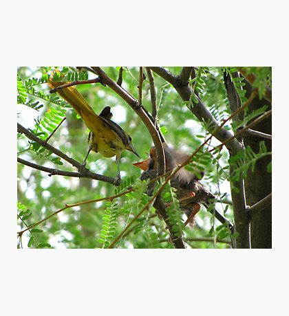 Hooded Orioles ~ Mother feeding Baby Photographic Print
