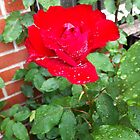 Red rose after the rain by Angel35