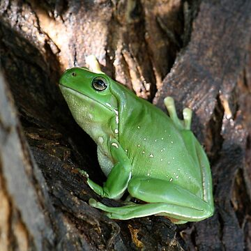 Green Tree Frog In a Tree * Ilfracombe Queensland by Dinkss