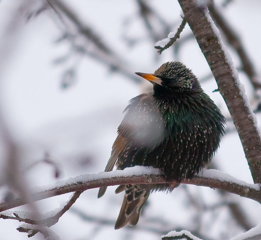European Starling by Benjamin Brauer