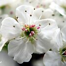 Spring Blossoms IV by Mattie Bryant