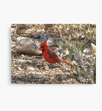 Northern Cardinal ~ Male Canvas Print
