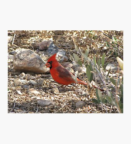 Northern Cardinal ~ Male Photographic Print