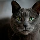 Silver-grey cat by natalies