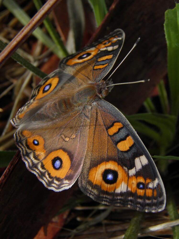 Meadow Argus Butterfly - Junonia villida by Dan & Emma Monceaux