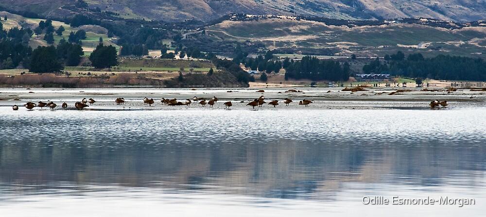 Lake Wakatipu ducks by Odille Esmonde-Morgan