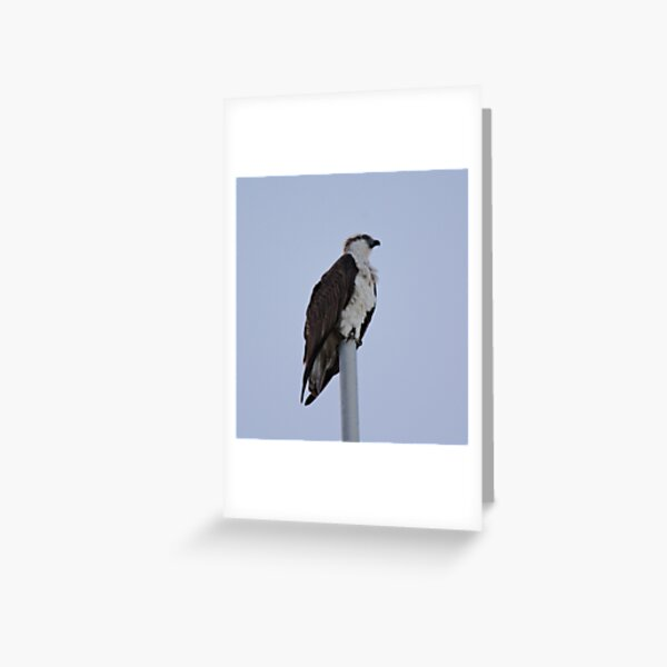 SC ~ WO ~ RAPTOR ~ Eastern Osprey by David Irwin 071119 Greeting Card