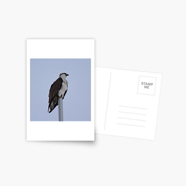 SC ~ WO ~ RAPTOR ~ Eastern Osprey RKFXJN7B by David Irwin 071119 Postcard