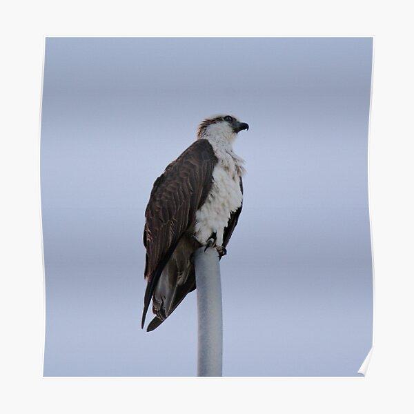 SC ~ WO ~ RAPTOR ~ Eastern Osprey by David Irwin 071119 Poster