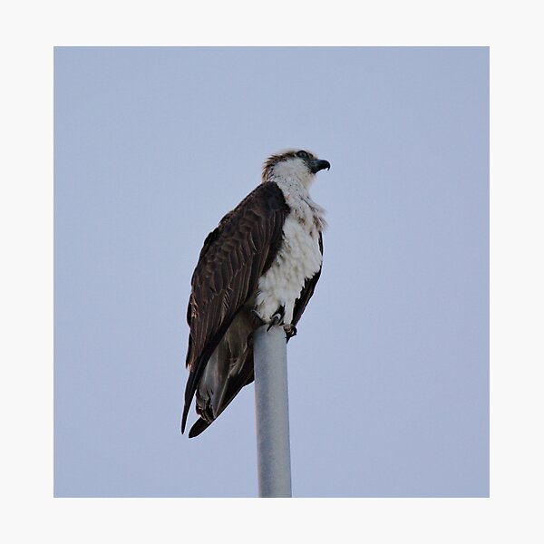 SC ~ WO ~ RAPTOR ~ Eastern Osprey RKFXJN7B by David Irwin 071119 Photographic Print