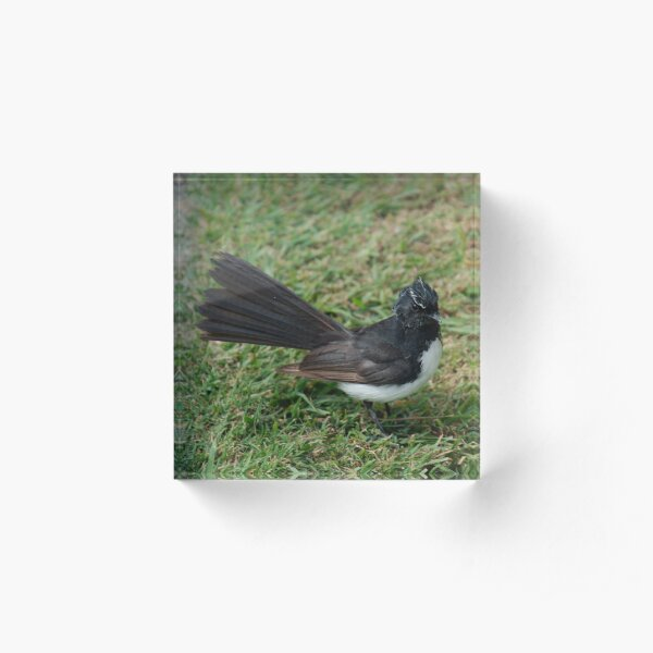 SC ~ WO ~ FANTAIL ~ Wille Wagtail by David Irwin 071119 Acrylic Block