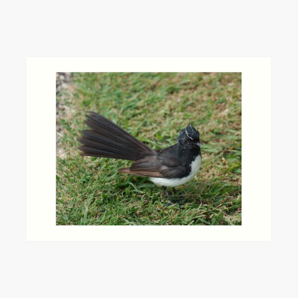 SC ~ WO ~ FANTAIL ~ Willie Wagtail FKUMPYXi by David Irwin 071119 Art Print