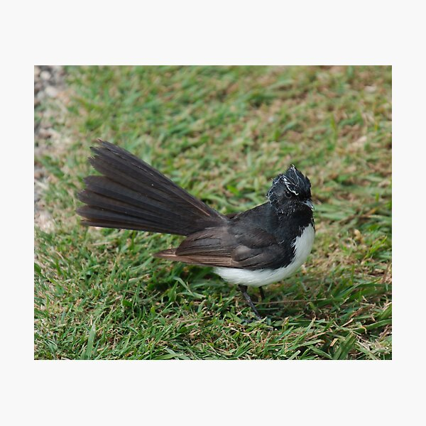 SC ~ WO ~ FANTAIL ~ Willie Wagtail FKUMPYXi by David Irwin 071119 Photographic Print