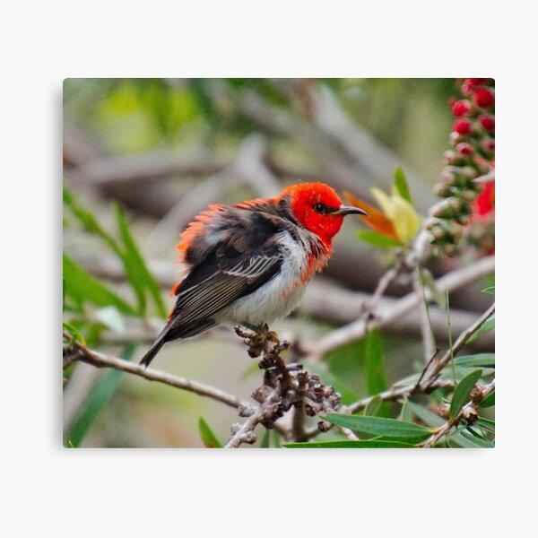 SC ~ WO ~ HONEYEATER ~ Scarlet Honeyeater by David Irwin 071119 Canvas Print