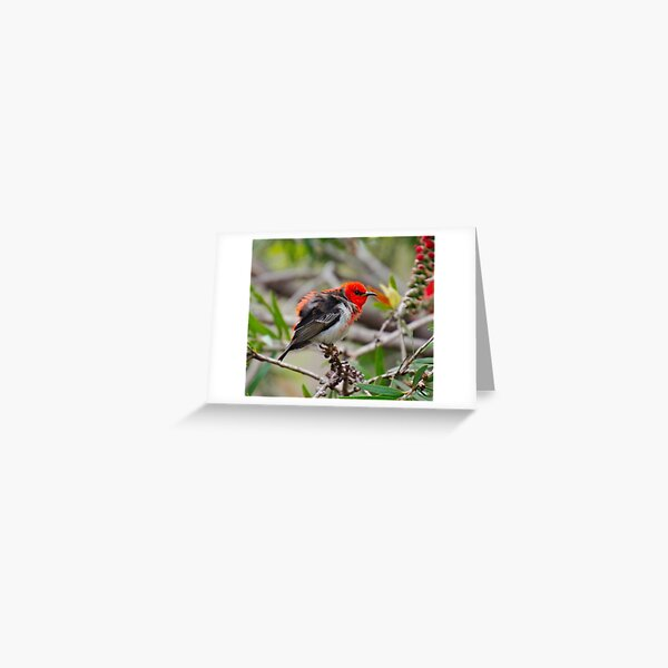 SC ~ WO ~ HONEYEATER ~ Scarlet Honeyeater by David Irwin 071119 Greeting Card