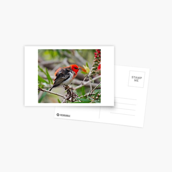 SC ~ WO ~ HONEYEATER ~ Scarlet Honeyeater uUN3ex8Q by David Irwin 071119 Postcard