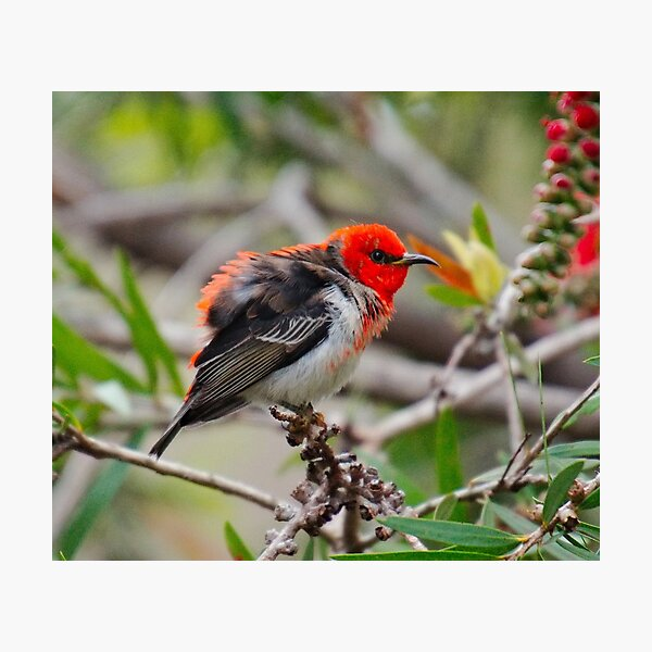 SC ~ WO ~ HONEYEATER ~ Scarlet Honeyeater uUN3ex8Q by David Irwin 071119 Photographic Print