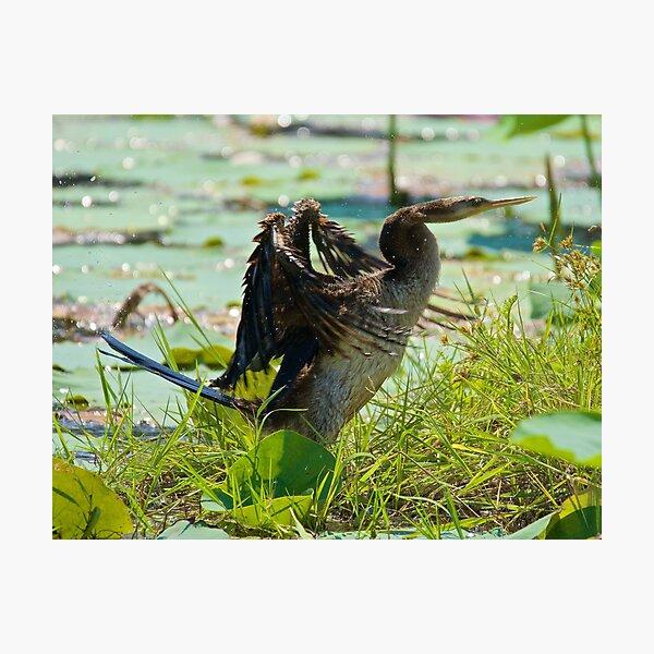 NT ~ MARINE BIRD ~ Australasian Darter by David Irwin 071119 Photographic Print
