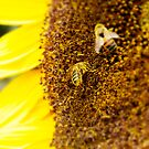 SUNFLOWER AND BEES by JOE CALLERI
